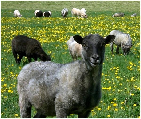 Dandelion and sheep