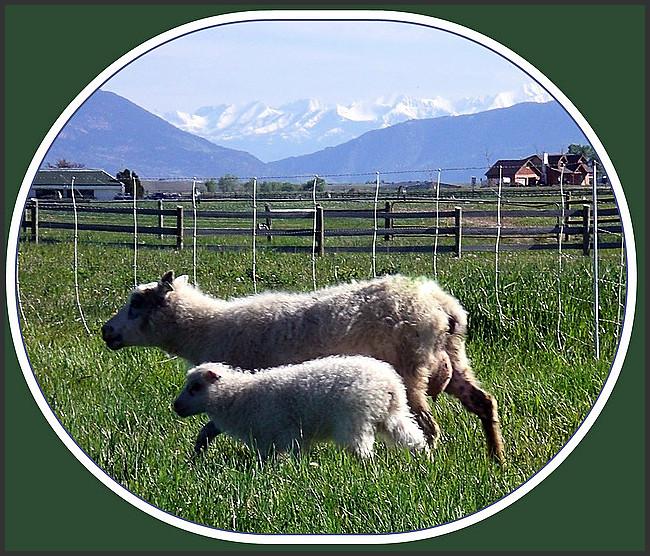 Montana Sheep