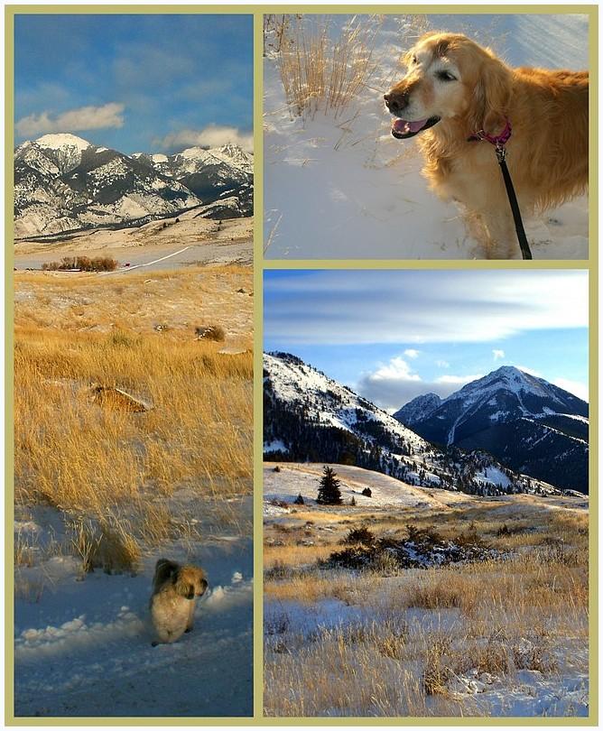 Snowy Golden 2