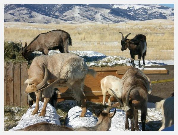 Goats of Paradise Valley, Montana