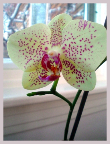 Sister Orchid