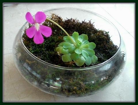 Carnivoris Plant