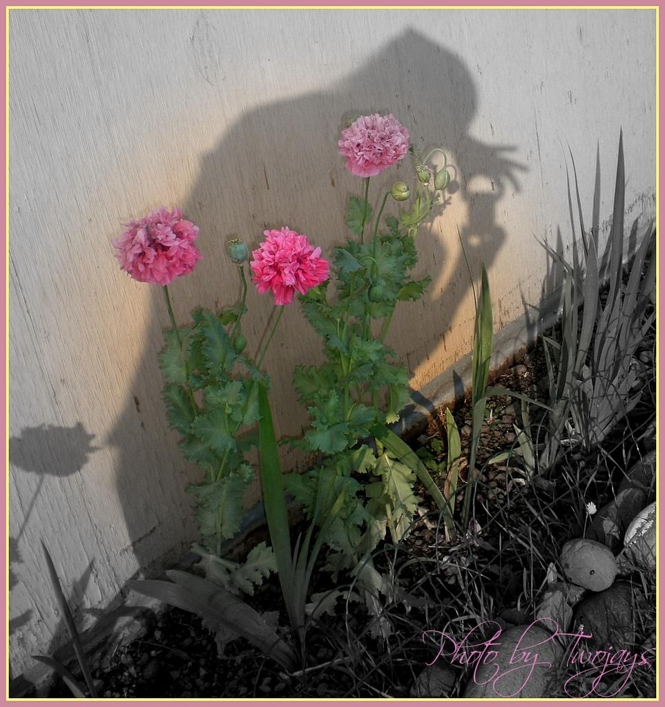 poppy & shadow