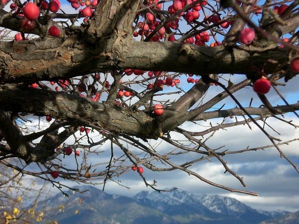 Under The Crab Apple Tree