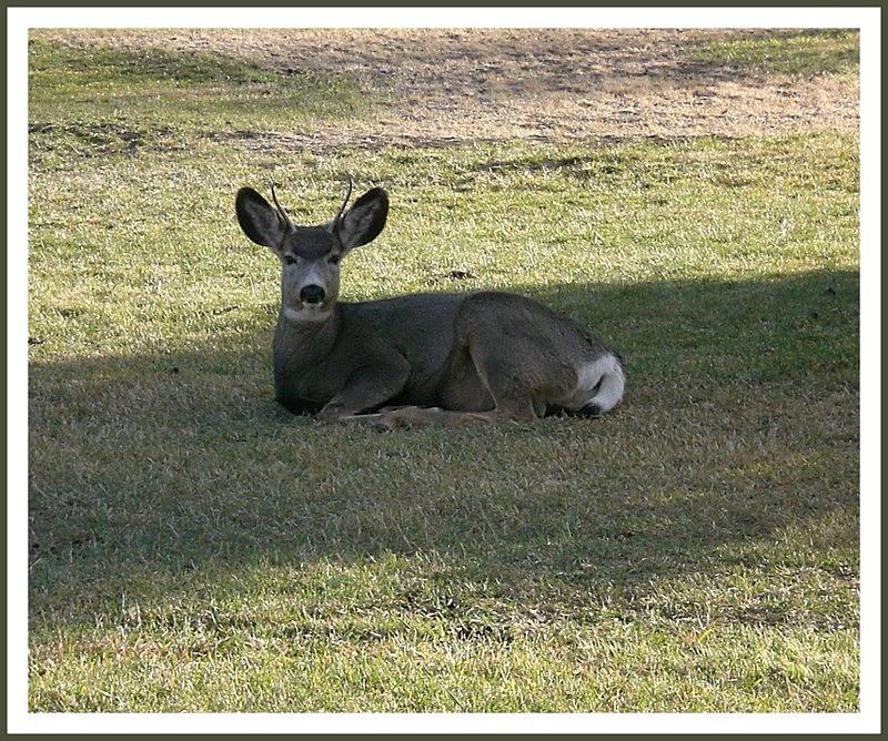 Reclining Mule Deer Yearling