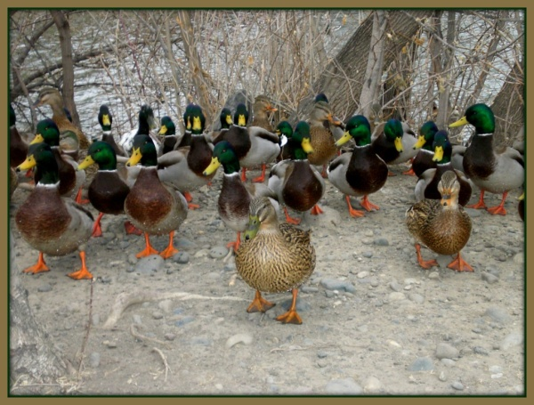 March of the Mallards 1