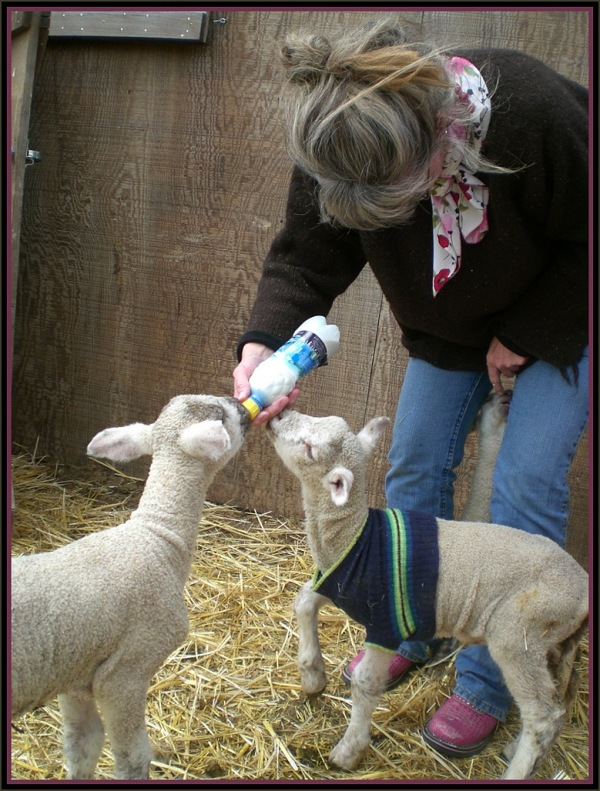 Montana Shepherdess