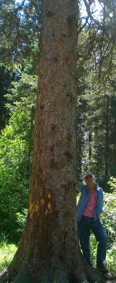 Mill Creek Pine Tree