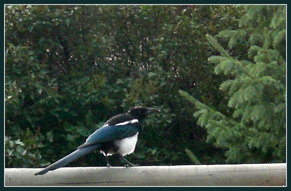 My First Magpie