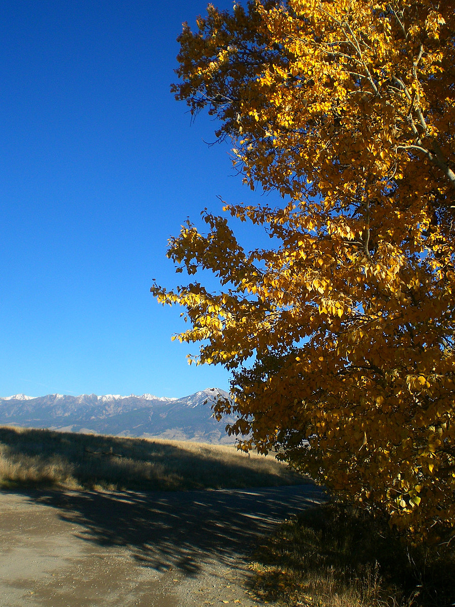 Montana Blue & Gold 1/4