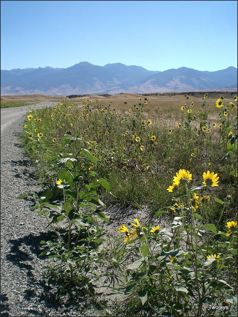 roadside sunflower time