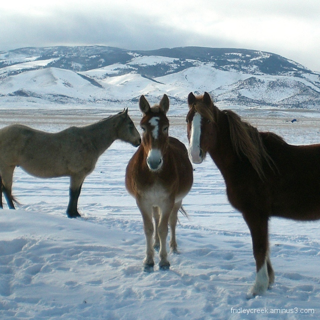 Montana Mule  and friends.