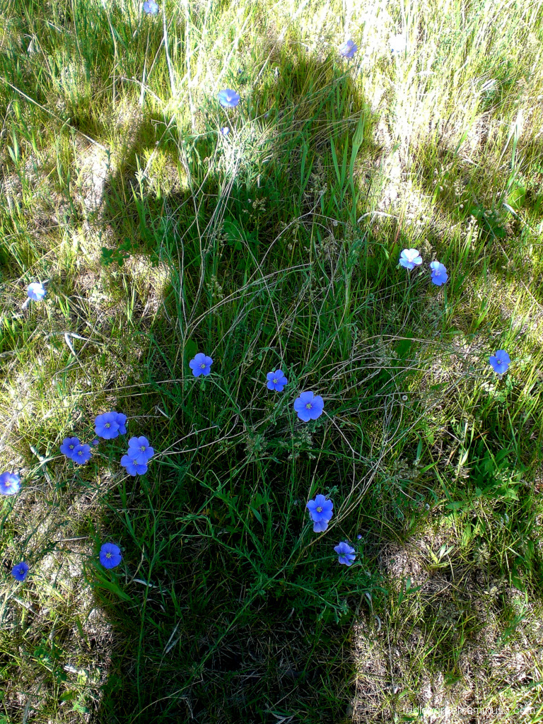 love those little flax seed flowers