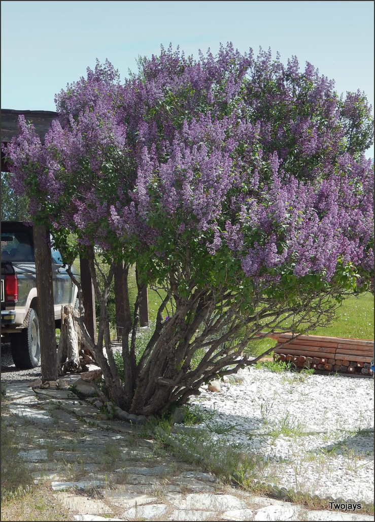 Lilac Time - across the street 2