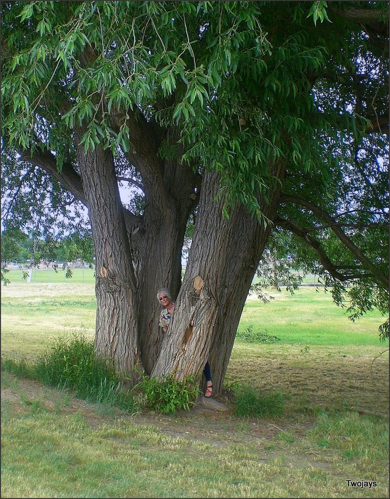 Huge Willow