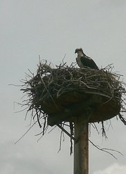 Osprey Parent