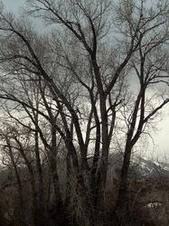 Spring rain Sky with Cottonwood Veil