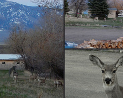 Twilight Spring with the Local Mule Deer