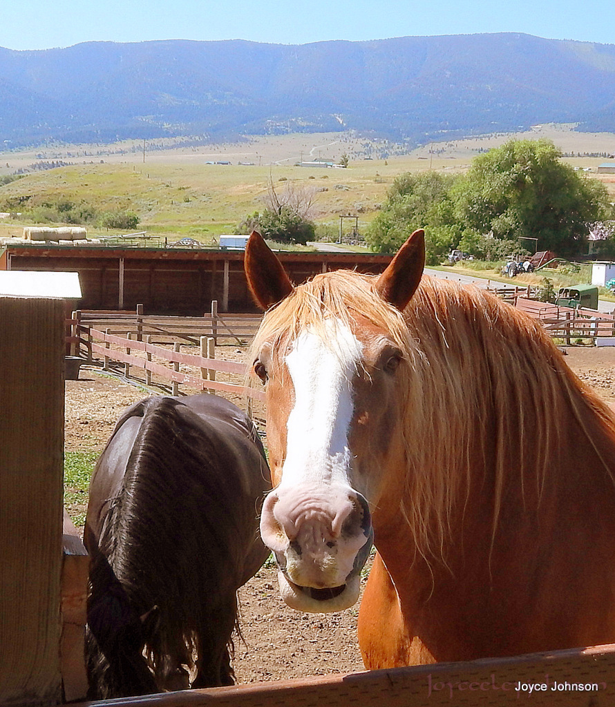 Happy Draft Horse of the Rockies.