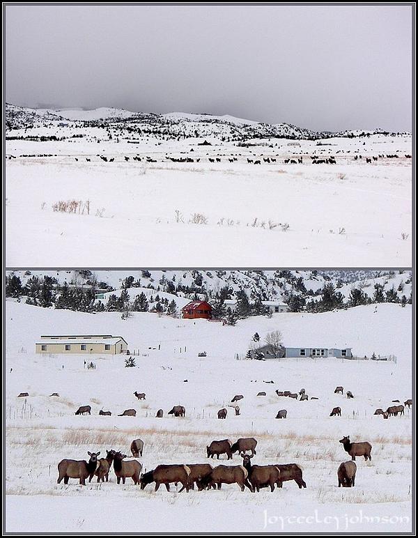 Rarely Seen Elk Herd Plays Soccer