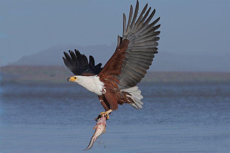Fishing eagle, Kenya