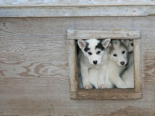 Young huskies