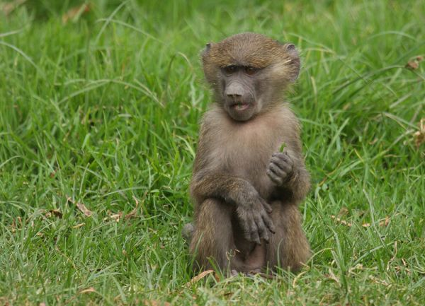 The monkey with the blade of grass