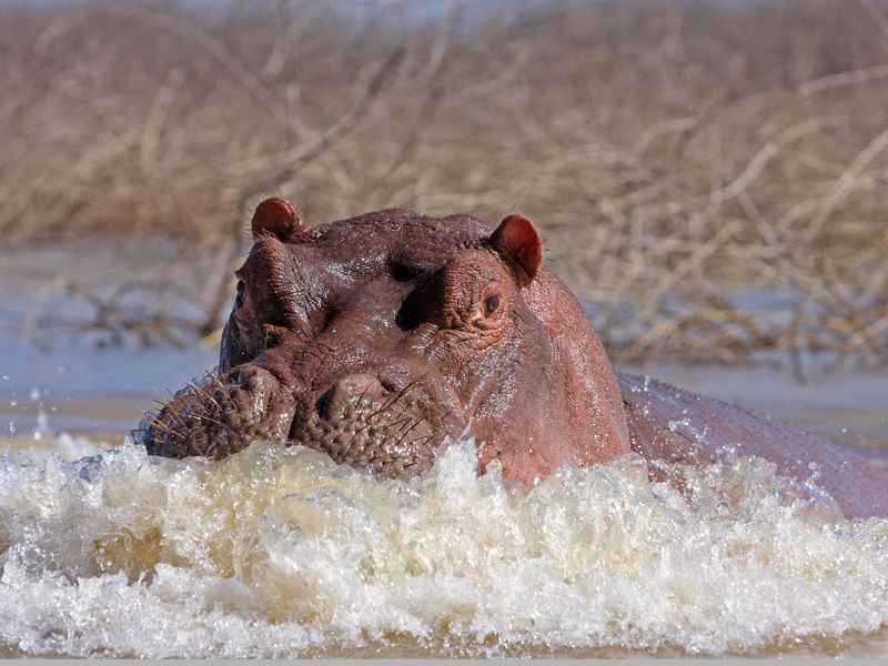 Hippo dissatisfied……