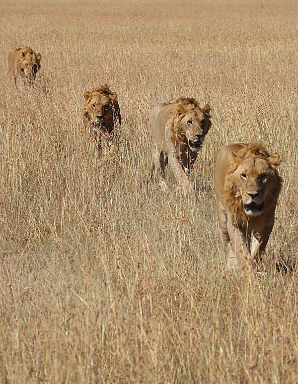 Lions in a parade