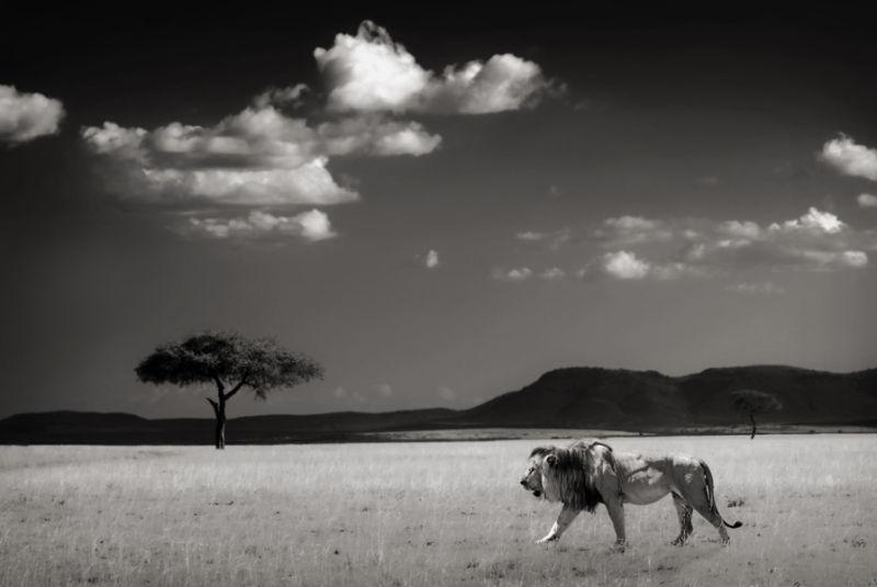 nature, landscape, lion, Africa, Kenya, BW