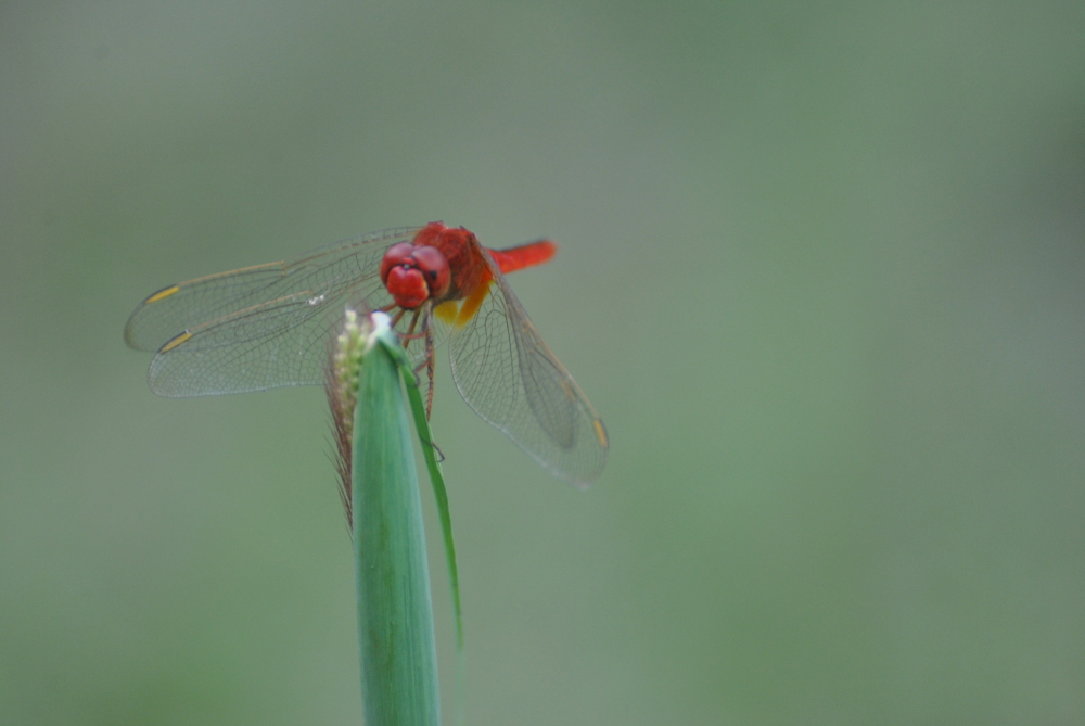 Red is Dead...Red Dragon Fly...!