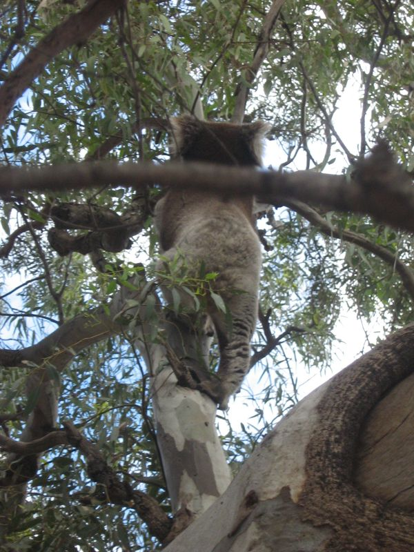 koala climbing a gum tree