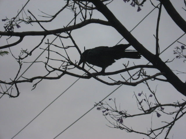Black crow in a tree