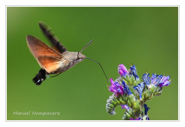 Esfinge colibrí (Macroglossum stellatarum) 2