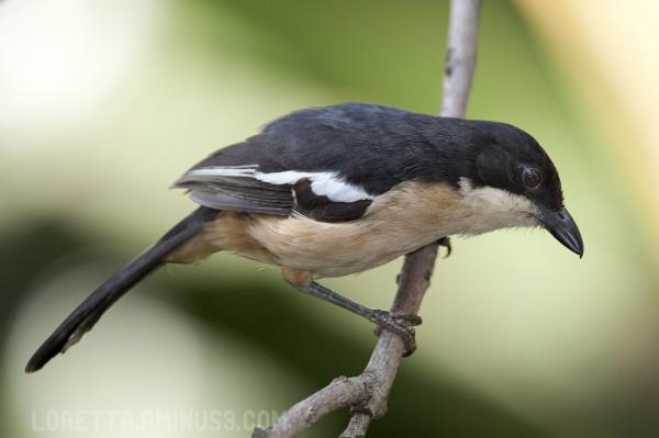 Bou-bou shrike
