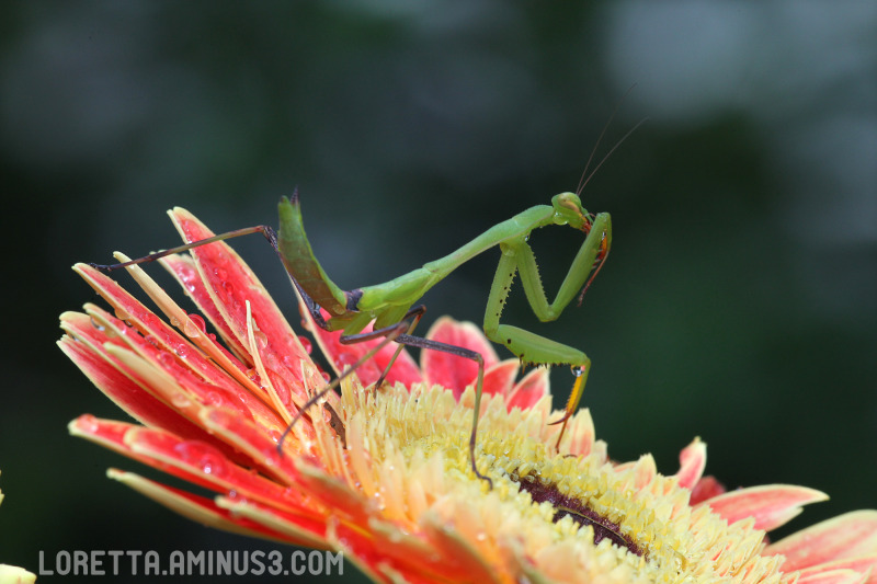 Mantis morning