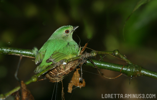 Female Blue Crowned Manakin on nest