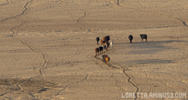 Cattle crossing the dry Limpopo River bed