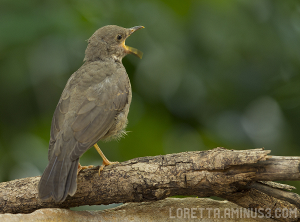 Young Olive Thrush calling for attention