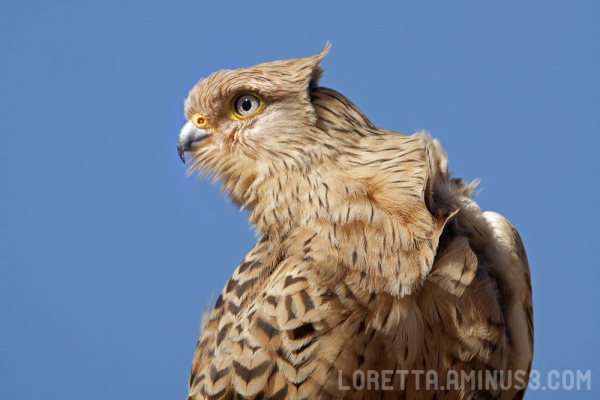 Wind-blown kestrel
