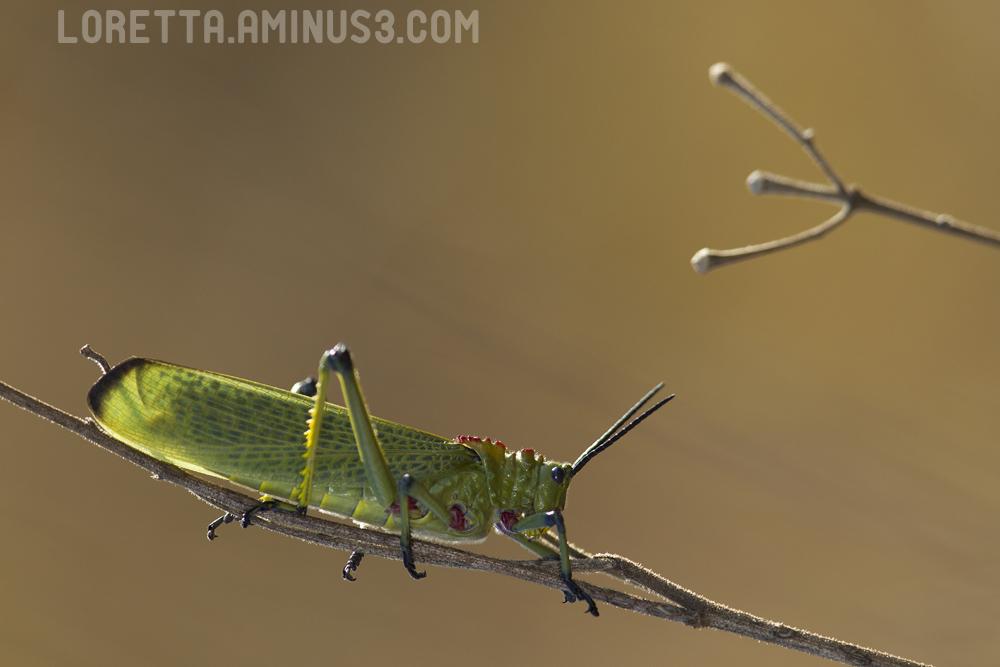 Grasshopper - Autumn