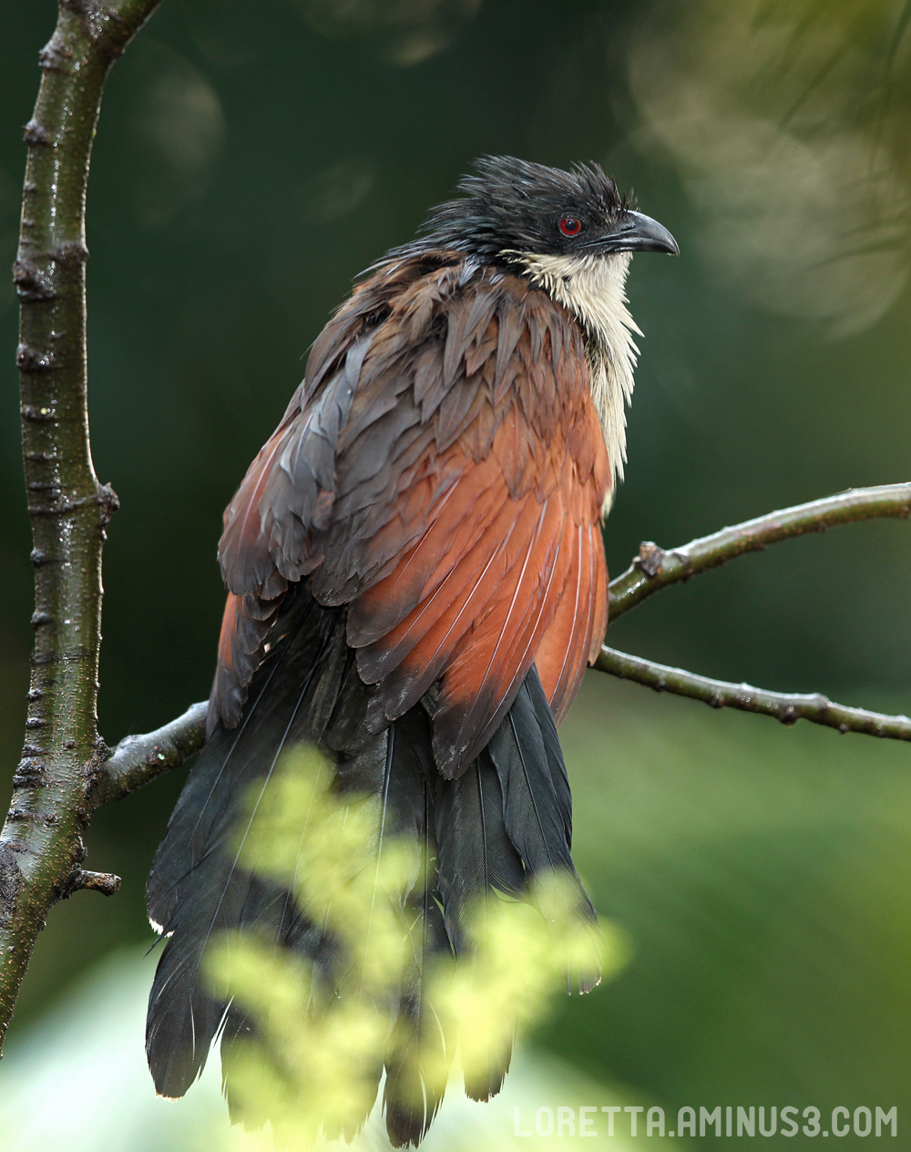 Wet Burchell's Coucal