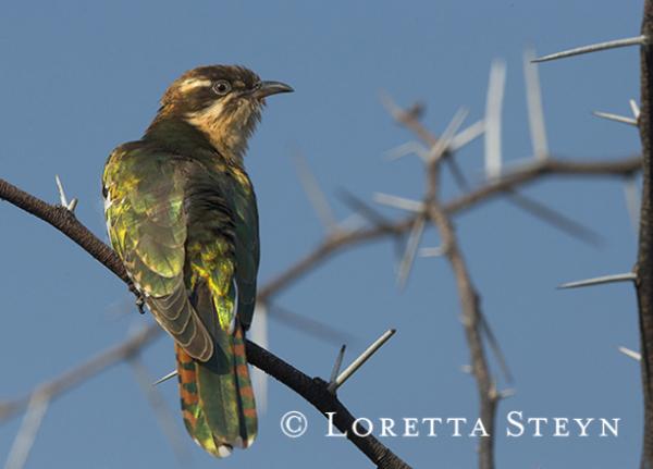 Diderick  Cuckoo (female)