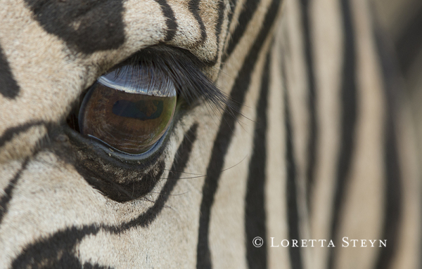 The fish-eye lens of a Zebra