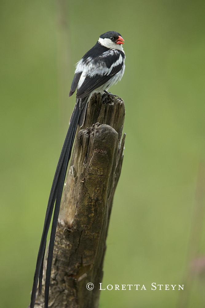 Pin-tailed Whydah (male in breeding plumage)