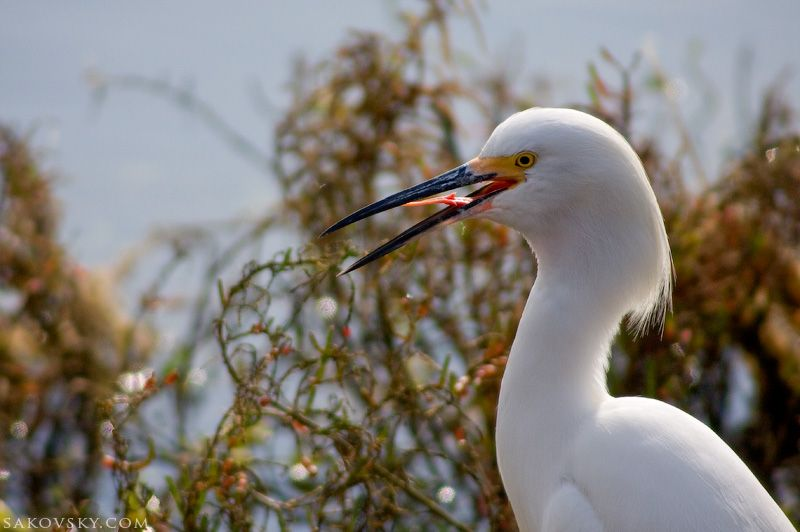 Snowy Egret shows his tongue
