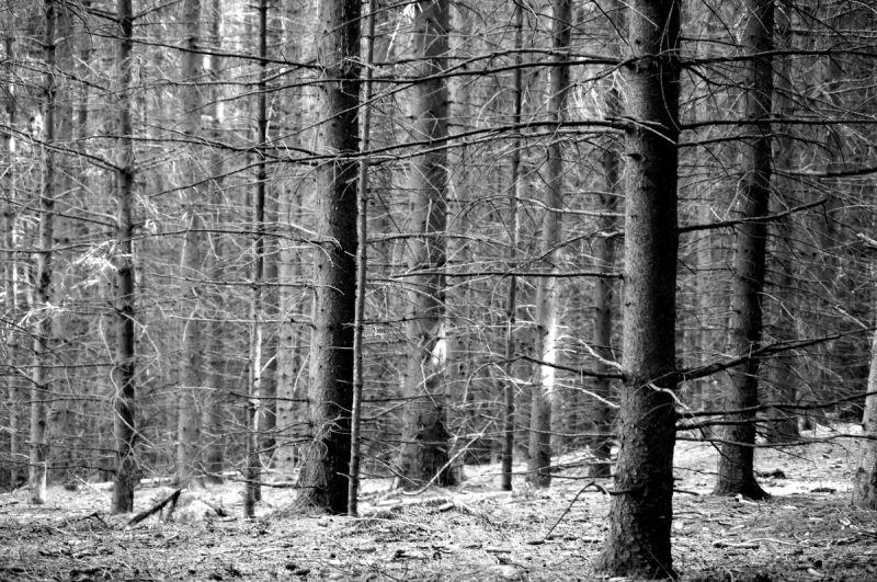 arbre tronc noeud écorce sapin