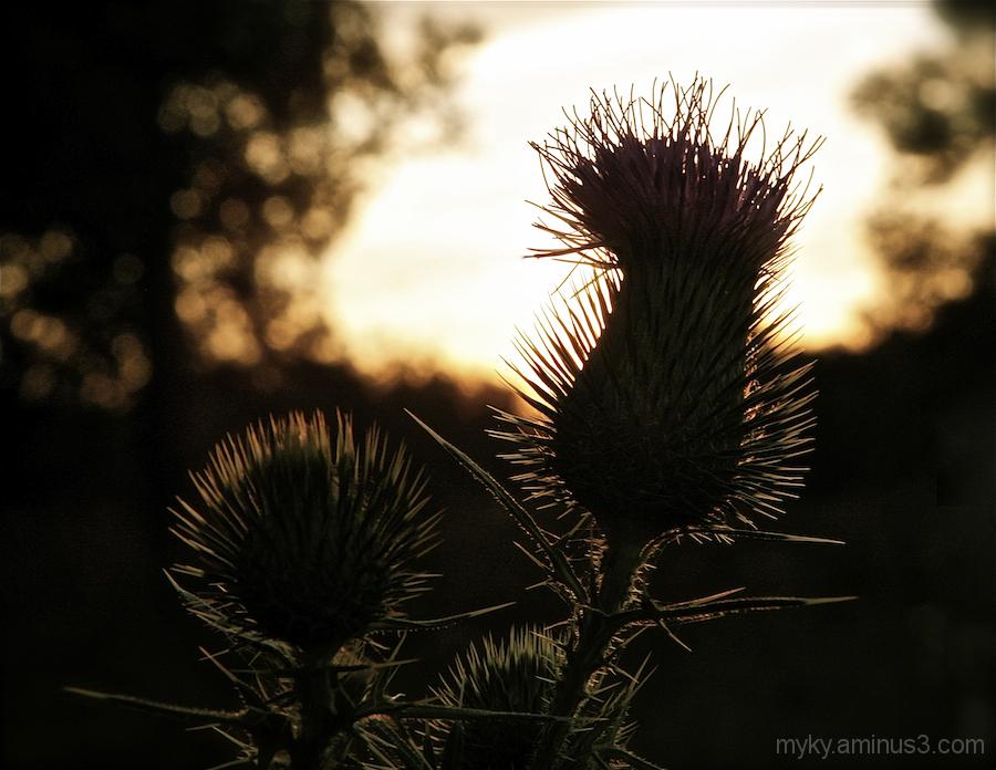 Flowering Thistle...