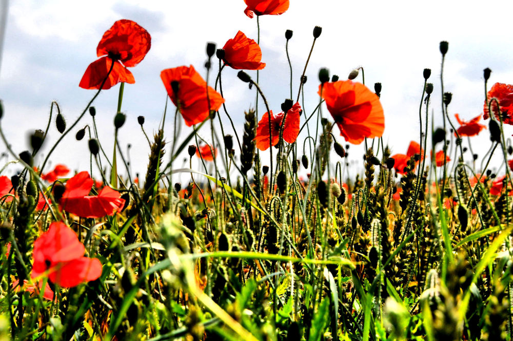 poppies are red....