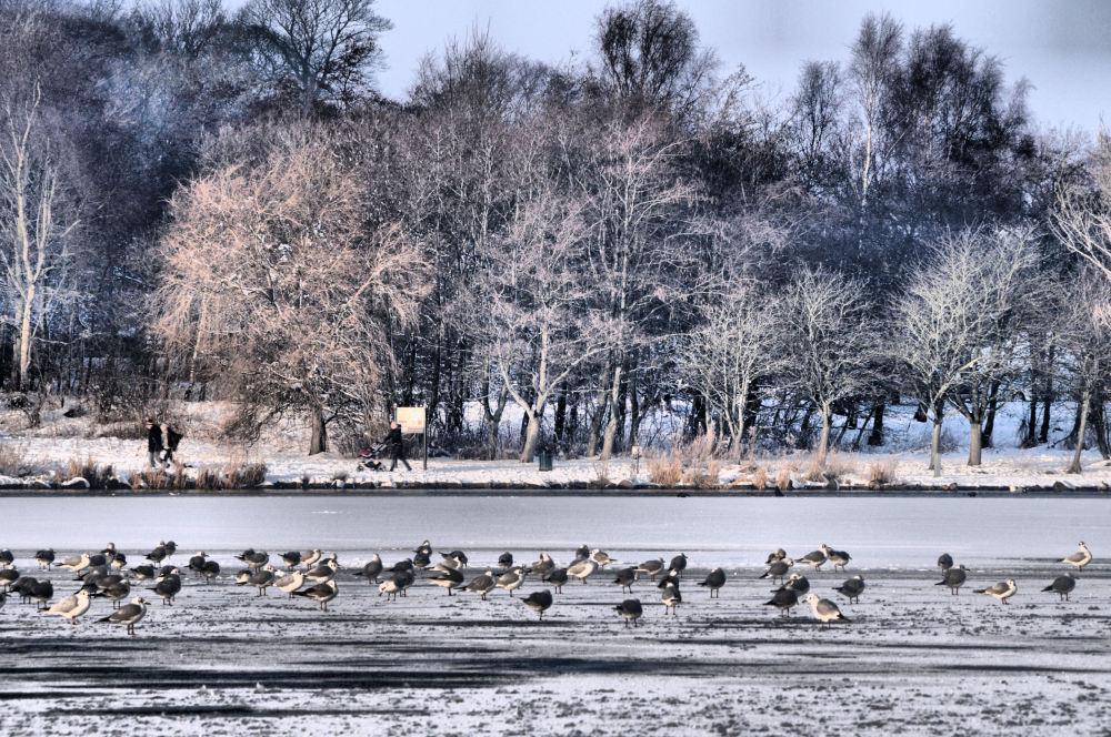 Birds on ice............